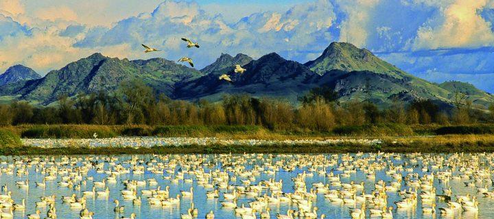 Tilt Your Ears & Eyes Skyward: The 14th Annual Snow Goose Festival is Almost Here
